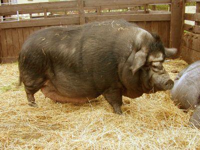 big-pig1