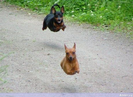 An irrelevant picture of hovering dogs, you just don't see that much these days!